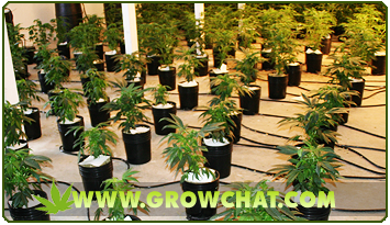 Advantages and Disadvantages of Hydroponics Marijuana growing