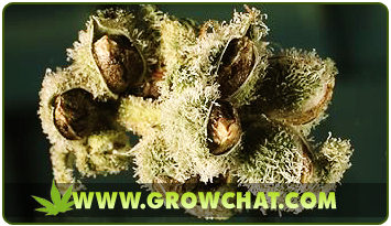 Buying Cheap Cannabis Seeds Online