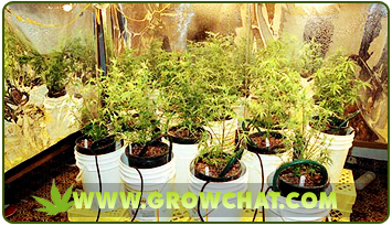 Choosing the Right Marijuana Strain for a SCROG Growing Method