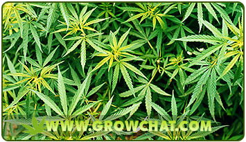 Choosing which to grow between Sativa and Indica Marijuana Strains