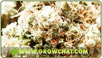 Controlling and Avoiding Pests and Diseases in Growing Marijuana Plants