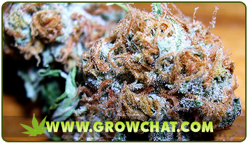 Feeding and Growing Marijuana Indoor and Outdoor for Beginners