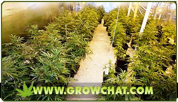 Getting familiar With the characteristics of Sativa Marijuana Plants