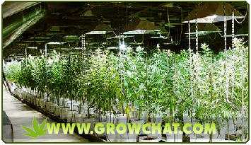 Growing Marijuana Using Hydroponics and its Benefits