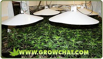 Growing Marijuana with either SOG or SCROG growing Methods