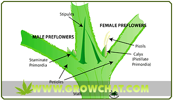 Important Methods in Sexing Marijuana Plants