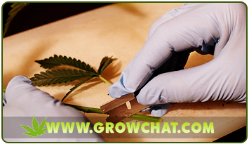 Indispensable Steps on How to Clone Marijuana Plants