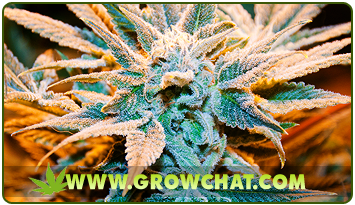 Introducing the chemical substances present in marijuana plants