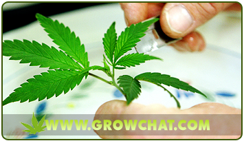 Knowing the advantages and disadvantages of cloning marijuana plants