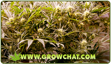 Knowing the Different Stages of Growing Marijuana Plants