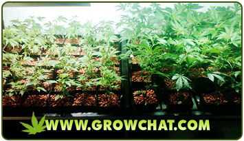 Marijuana Growing Using the Screen of Green (SCROG) Method