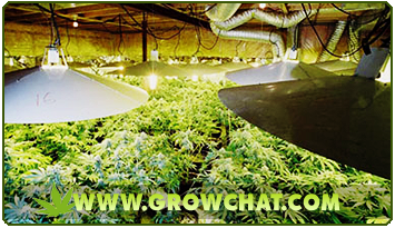 Marijuana Growing using the Sea of Green Method