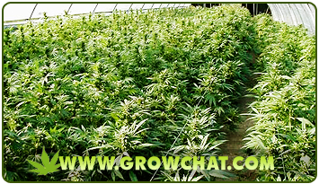 Marijuana Plants in a Greenhouse growing Method