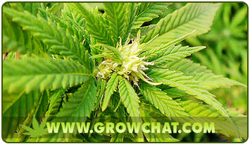 Monster Cropping Techniques for Growing Marijuana Plants