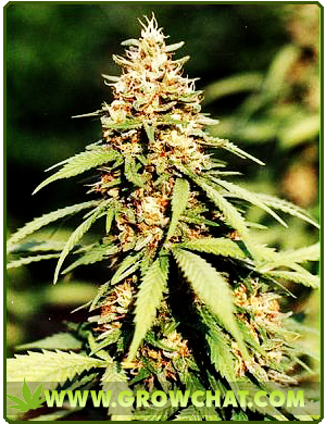 Nutrients Guide for Marijuana Plants in Indoor and Outdoor Growing