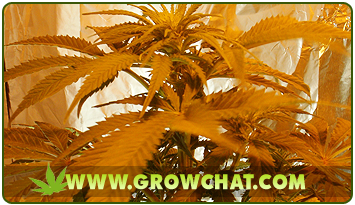 Preventing too much stress on the growing marijuana plants