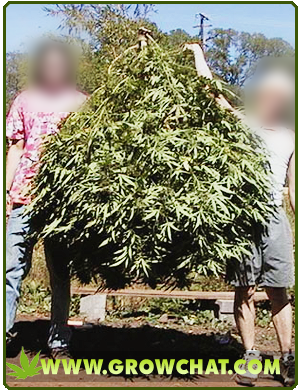 Proper Methods of Harvesting Marijuana Plants
