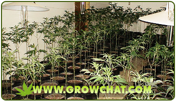 Pros and Cons about Indoor Growing of Marijuana Plants