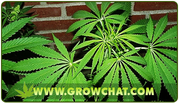 Reasons Why Marijuana Plants Grow Tall and what to do about it
