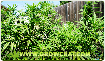 Tips in Identifying and Growing a Cash Cropper Marijuana Strain