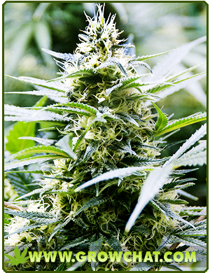 Tips on how to increase the THC or CBD content of marijuana plants