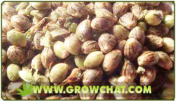 Top Marijuana Seed Breeders and Cannabis Companies