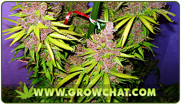 Ways of Feeding Marijuana Plants During its Vegetative Growth