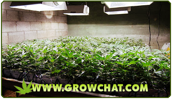 What to Consider in Indoor Growing of Marijuana Plants
