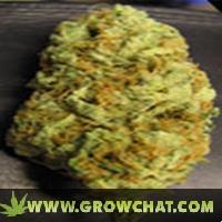 Bc hash plant marijuana strain
