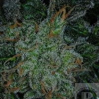 Think-Tank  Marijuana Strain
