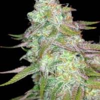 Timewreck  Marijuana Strain