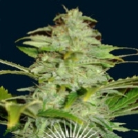 Titan  Marijuana Strain
