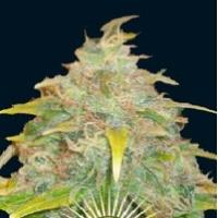 Trojan  Marijuana Strain