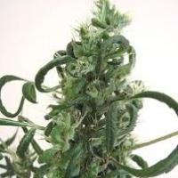 Sangoma Marijuana Strain