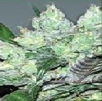 Serious 6  Marijuana Strain