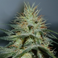 Shackzilla Marijuana Strain