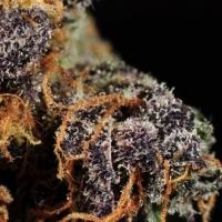 Shaman Marijuana Strain