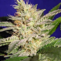 Sheherazade Marijuana Strain