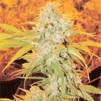 Shiesel  Marijuana Strain