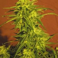 Shuss Marijuana Strain