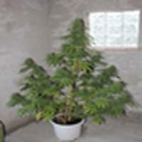 Chaze Marijuana Strain