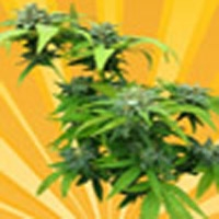 Cheesedom Marijuana Strain