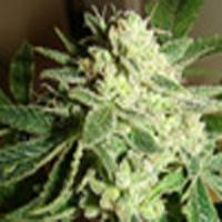 Chemage Marijuana Strain