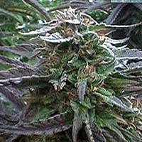 Chilla Marijuana Strain