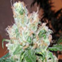 Chemmando Marijuana Strain