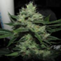 Chemdog Sour Diesel  Marijuana Strain