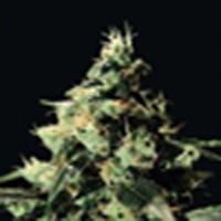 Chemdog  Marijuana Strain