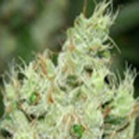 Chem Glue Marijuana Strain
