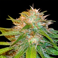 Chronic Haze Marijuana Strain