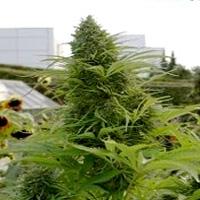 Chronicle Marijuana Strain